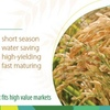 Viand - The new water saving Rice variety just released