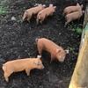 Spit pigs