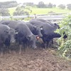 9 Angus cows, 4-6 years old