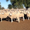 135 x X Bred Ewes June 2016 Drop Ready to Join