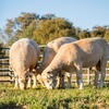 1.5 year Poll Dorset Rams For Sale