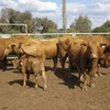 Red Brangus Cows with Calves