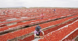 Picture of the day - Sun drying tomatoes in China