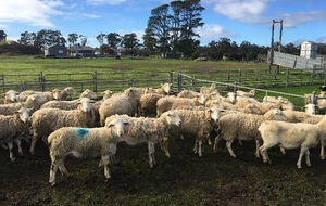 180 x 2-4yo Dorper Ewes with Lambs @ Foot