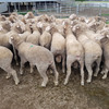 Poll Merino Dual Purpose Rams x 40 (All with ASBVs)