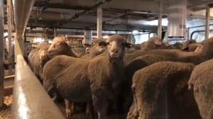 Video - Sheep Ship penned up at a stocking rate 17.5 percent lighter