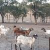 27 Damara sheep including dorper  x breeds