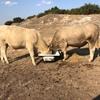 Murray grey bulls