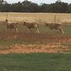 Koonik & Glenaroua Blood Dohne Rams For Sale