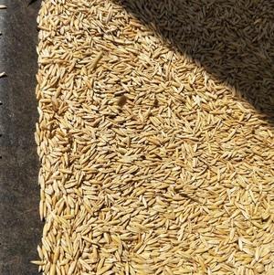 Yarran Oats Seed