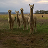 Alpaca Herd Guards