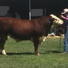 Poll Hereford registered stud bull