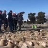 Video - Two National Lamb records tumble at Griffith on Friday