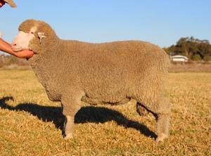 Haddon Rig Merino Ram sale average $2356 for 188 sold