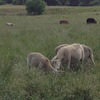Wiltipoll Sheep/Lambs For Sale