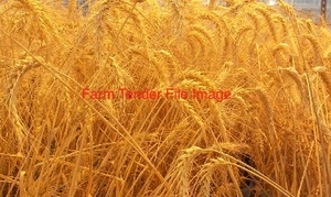 Wheat Seed Treated and Graded