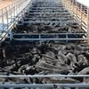 Mecardo Analysis - Store cattle prices rising but margins still good