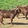Red Boer Bucks for Sale