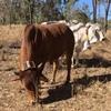 Agersens virtual herding trial a success