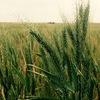Organic Wheat 100T