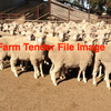 500 x MERINO EWES For Sale WA