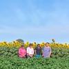 Sunflowers help reduce Cotton pests