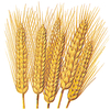 Wheat 12%Protein-T/W 78-Screanings 5% x 800 m/t