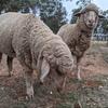 Merino ewe lambs