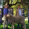 Poll Boonoke Ram makes $35,000