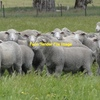 Wanted - 1200 dohne ewes