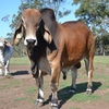 Registered Red Brahman Bull