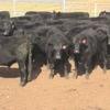 Angus / Angus x : Steers And Heifers
