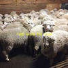 WANTED - 100 -150 Merino Ewes in lamb. 2 to 4 year old. WANTED ASAP