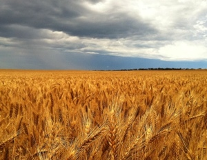 Wheat prices strengthen as we reach for the history books