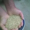 Jumbo lentils