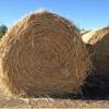 Certified Organic Spelt wheat ( beardless) & ryegrass Hay