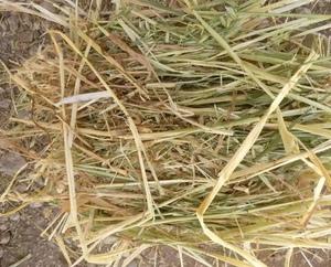 250/mt of old season oaten hay