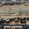 JBS finds buyer for Five Rivers Cattle Feeding Feedlot