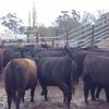 87 x Angus 10 x Black Baldy Heifers