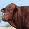 Strathmore and Barcoo Breeders Bull Sale results