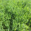 Standing Oats & Vetch Hay