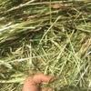 Italian Rye Hay