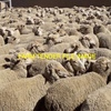 500 x 1.5Year Old SAMM Ewe's For Sale - Full Wool - Fat Condition Ready to Join!!