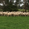 White Suffolk Rams For Sale