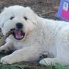 Genuine Maremma Livestock Guardian Pups