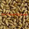 70 T F1 Barley (Ex Farm)