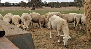 Wiltipoll Ewes