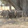 Merino Rams Woodlands Blood