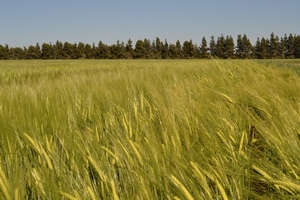 Glencore creating worldwide markets for new Barley varieties