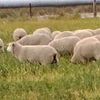 Border X Merino first cross ewe lambs - 400